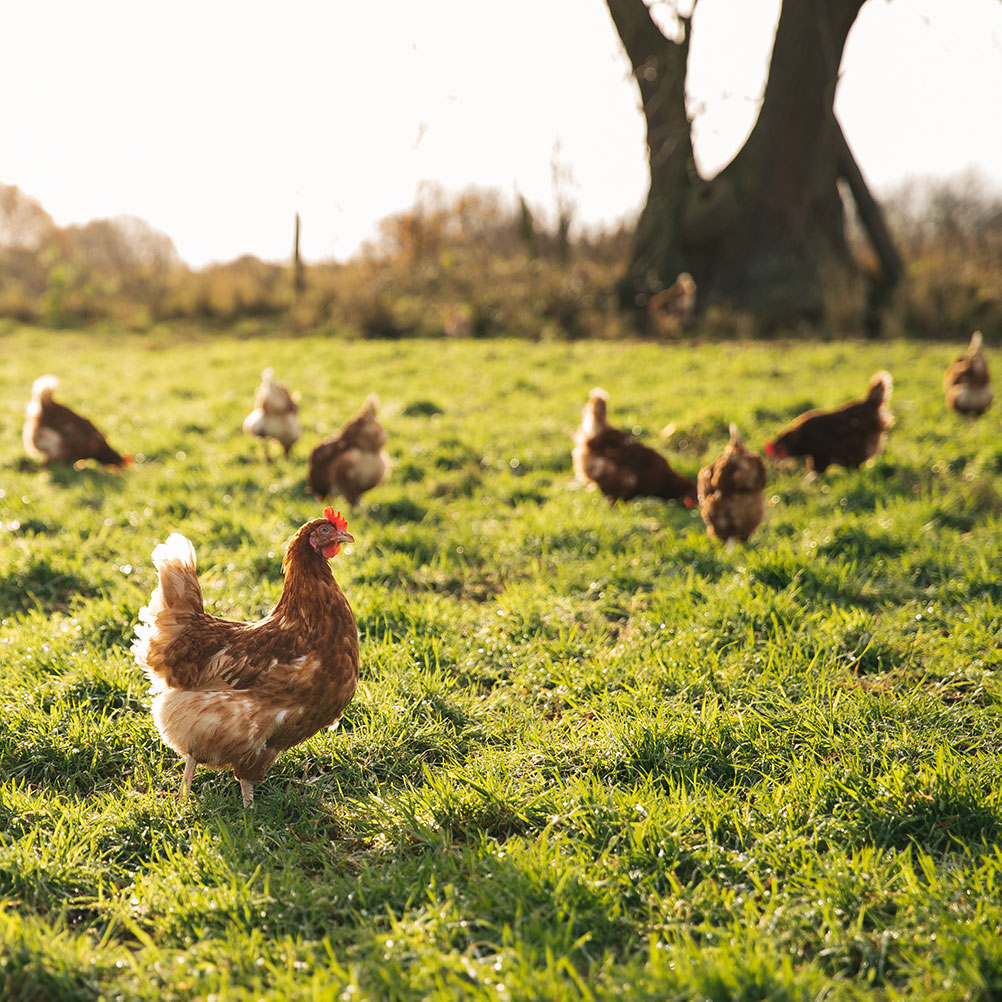 Free range chickens at Stokes Farm (egg supplier)