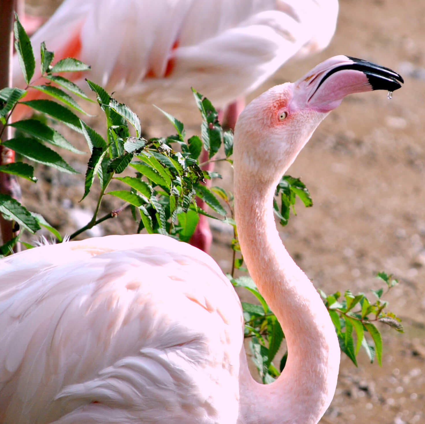 Pink Flamingo at Zoo - Wildlife Photographer - Love from Lila