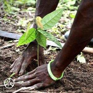 Chocolate Farmer Planting Sapling