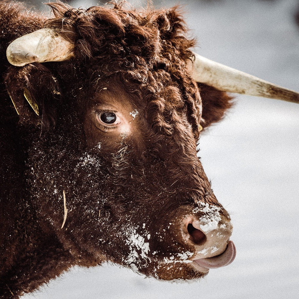 Fluffy Cow in Snow