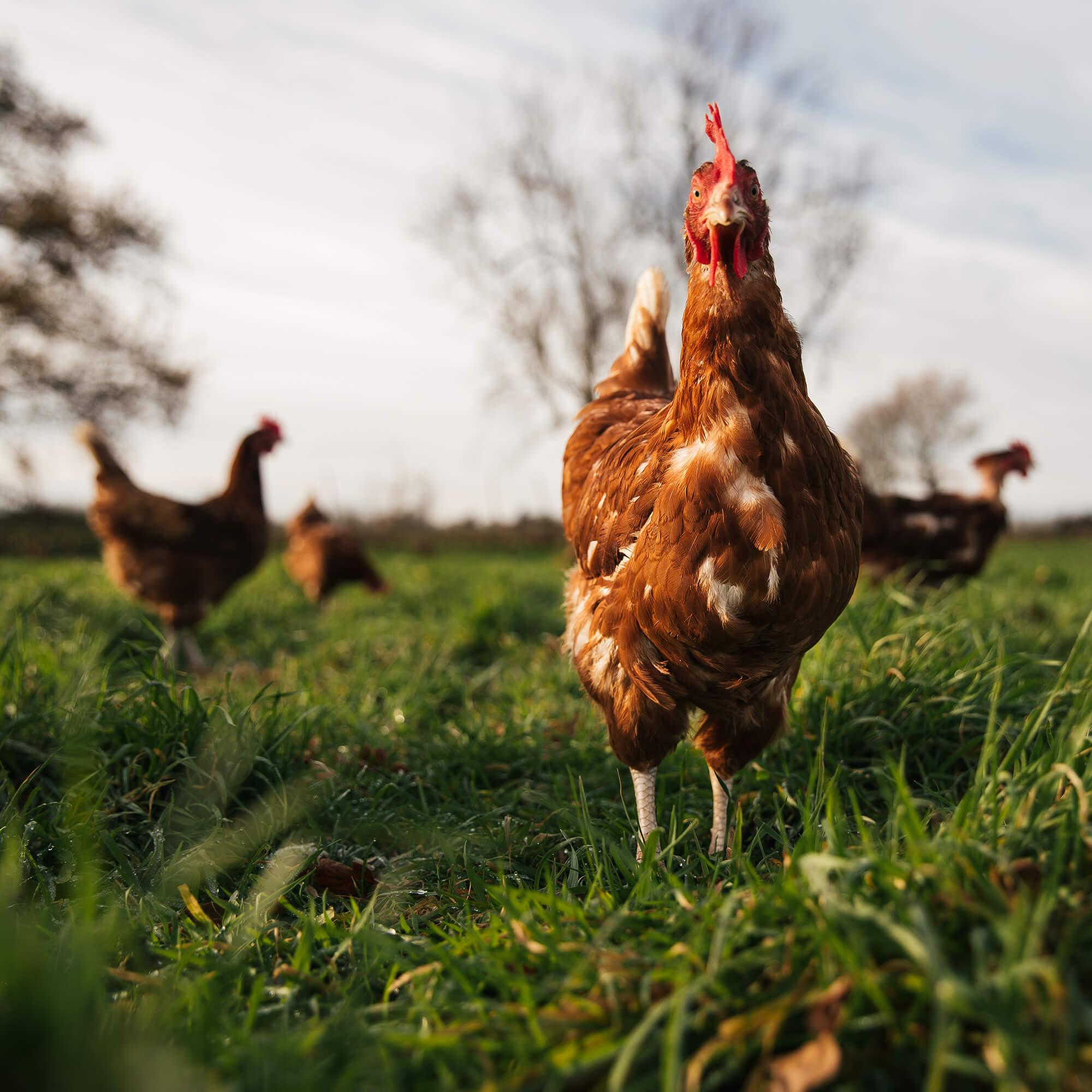Happy Free Range Chicken in Field