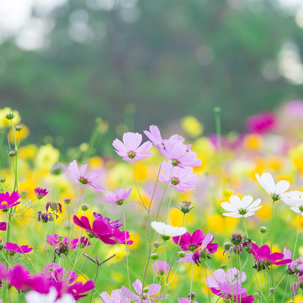 Field of Cosmos Flowers