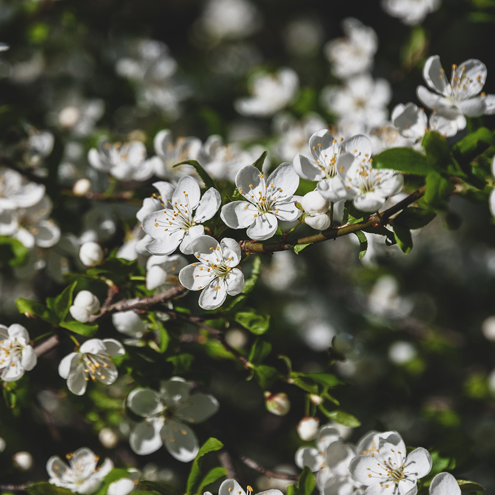 Damson Tree Branch with White Flowers