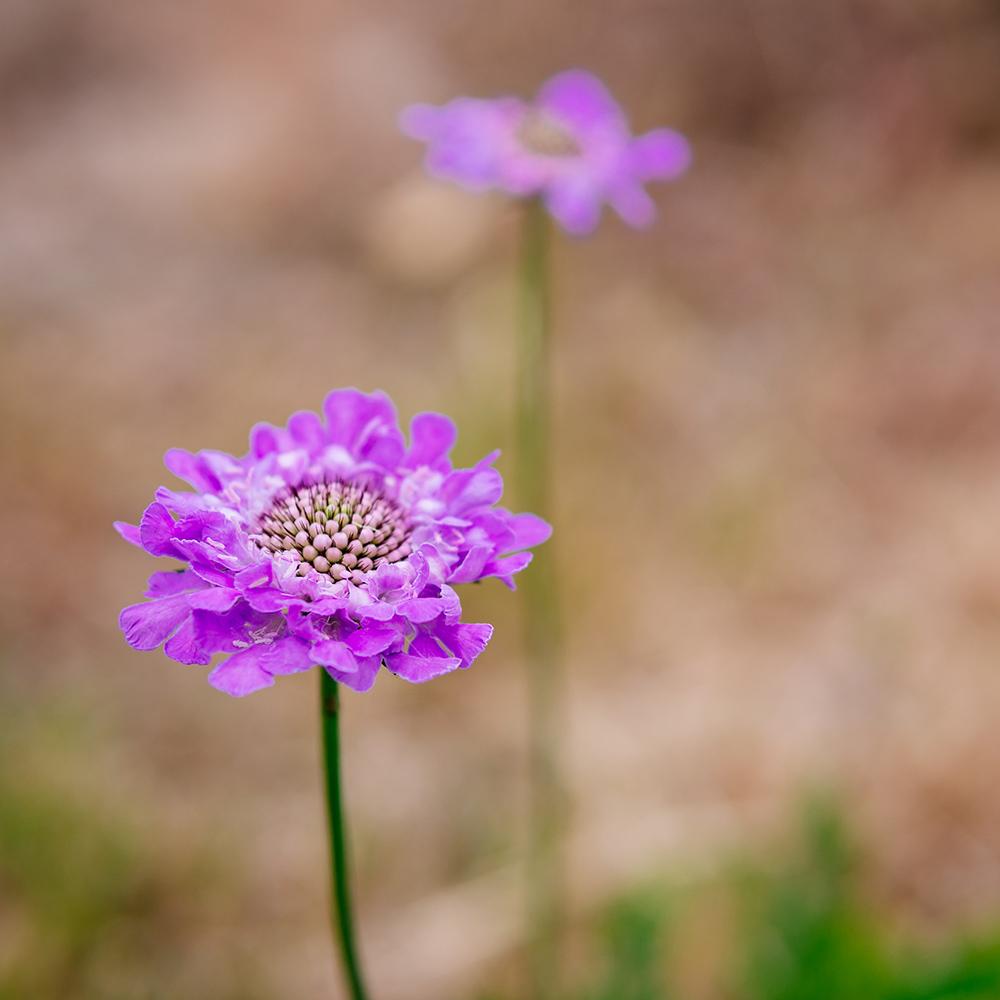 Purple Scabiosa Flowers