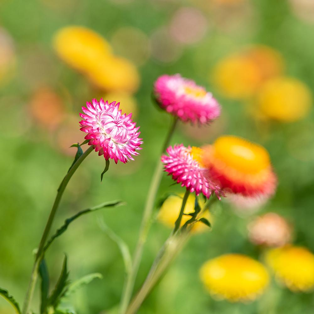 Yellow and Pink Strawflowers
