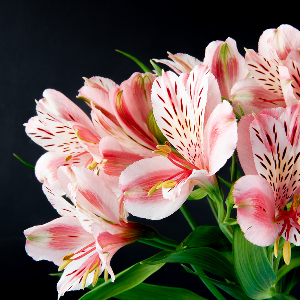 Pink and White Alstroemeria Flowers